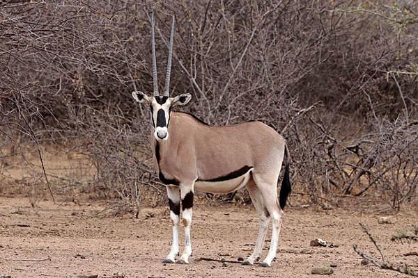A common Oryx.