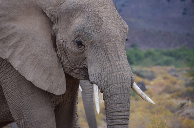 African bull elephant - African symbol of strength.
