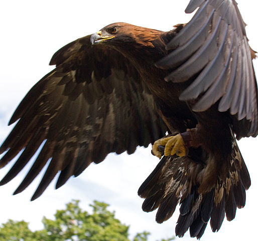 Golden Eagle in flight.
