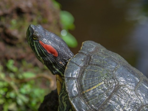 Red-eared slider Turtle.