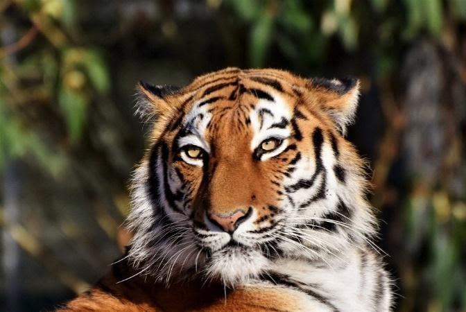 Bengal tiger / Symbol of Meitei goddess.