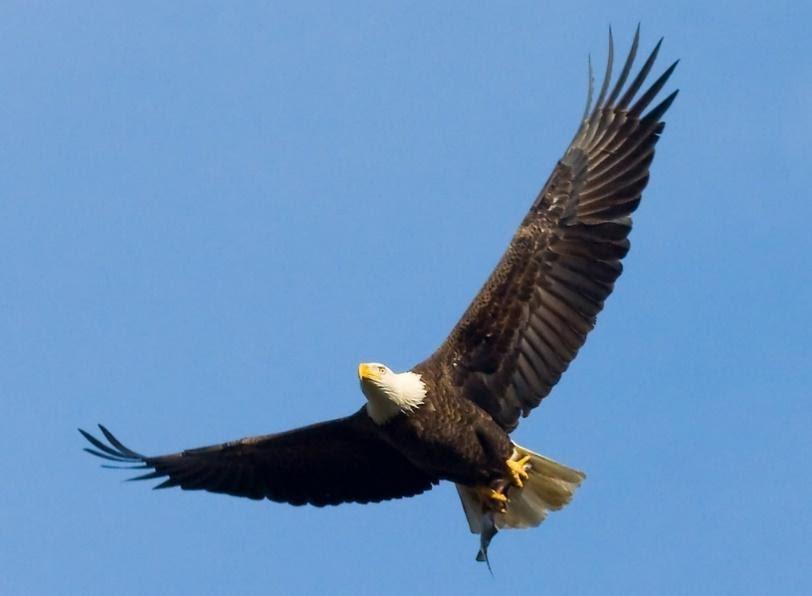 Eagle soaring in the sky  / Bird symbol of bravery.