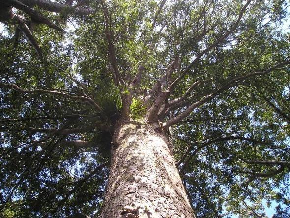 Chunky New Zealand tree / Agathis australis.