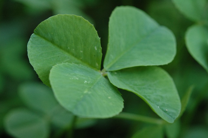 4 leaf clover / Irish symbol of hope and good luck.