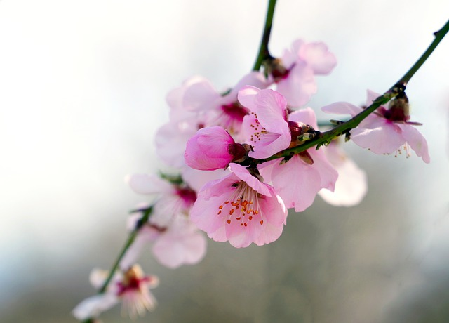 Almond blossom / Jewish symbol of hope.