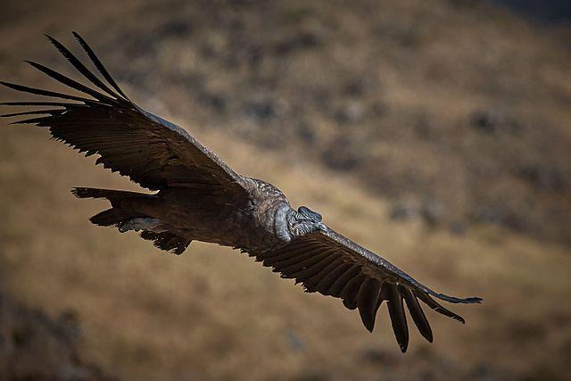 Columbia symbol of freedom / Condor.