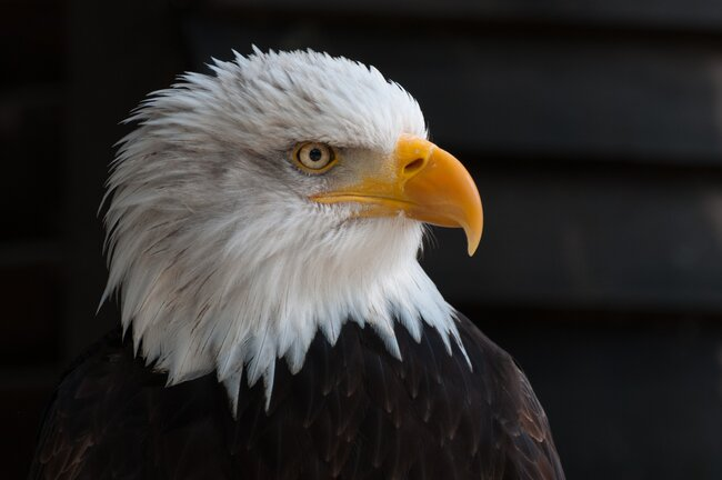 American symbol of freedom / Bald eagle.