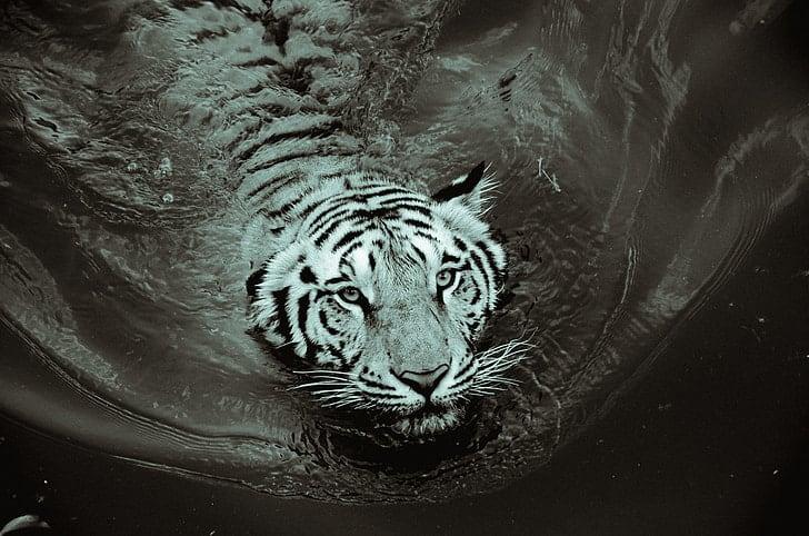 Symbol of Wangbren / Black tiger.