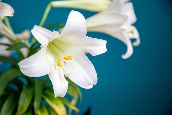 Easter Lily flower / Symbol of the Irish freedom struggle.