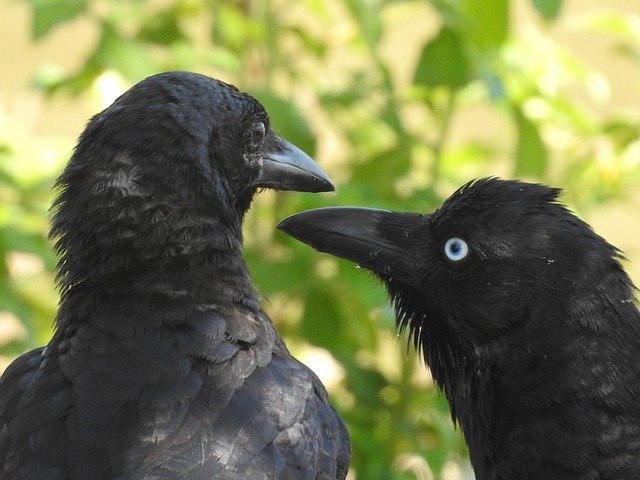 Ravens in Japan.