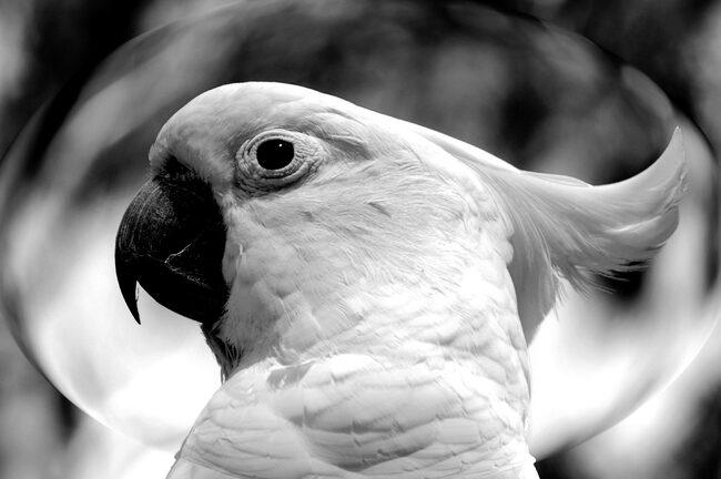 White Cockatoo / Symbol of Quan Yin.