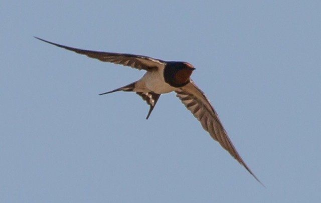 Flying swallow / Sailor symbol of hope.
