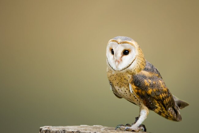 Beige and brown owl on top of tree log.
