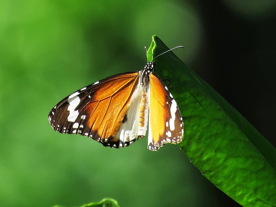 Orange and black winged butterfly atop a flower.