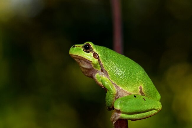 Green frog perched thin tree branch.