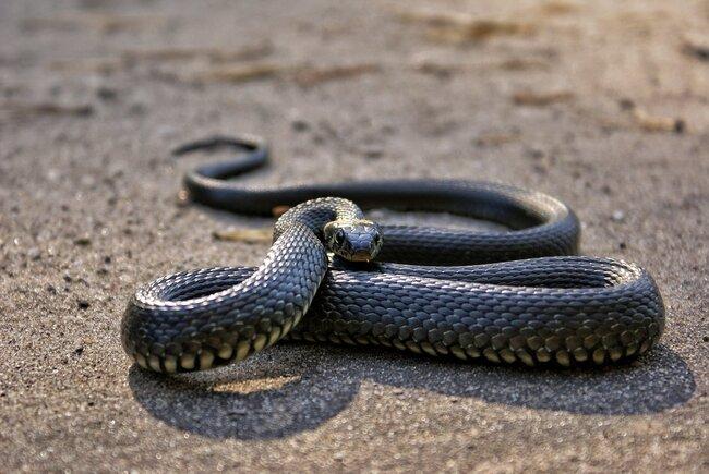 Grey snake in the desert.