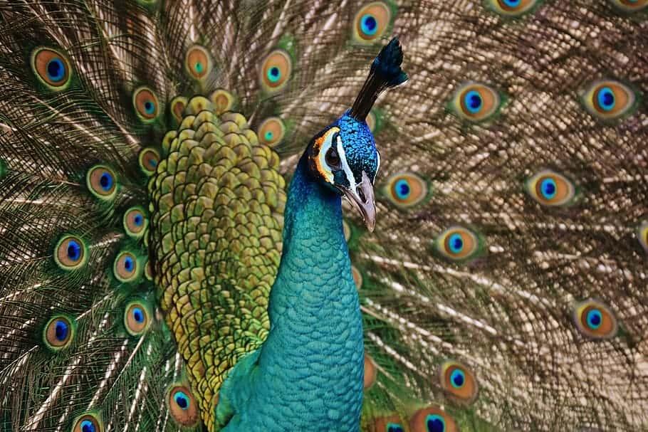 Symbol of Hera / Peacock  .