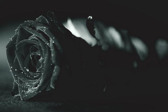 Creative close up shot of black rose.