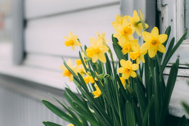 Close up photograph of daffodils.
