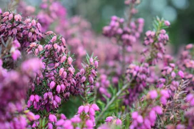 A field of flowering heather plants.