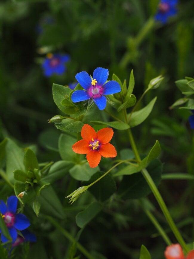 Pimpernel Flowers.