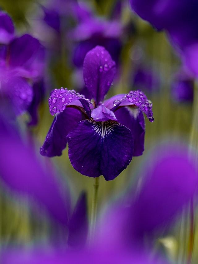 Close up of purple Iris in a field.