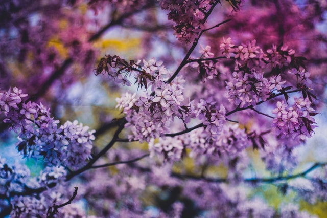 A close up shot of purple lilacs on a tree.