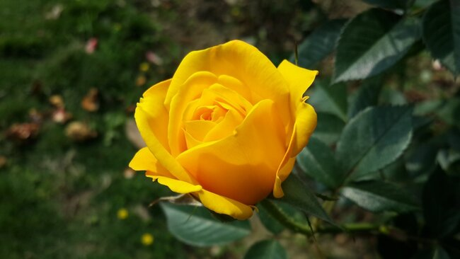 Single yellow rose.