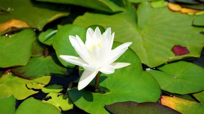 White lotus flower.