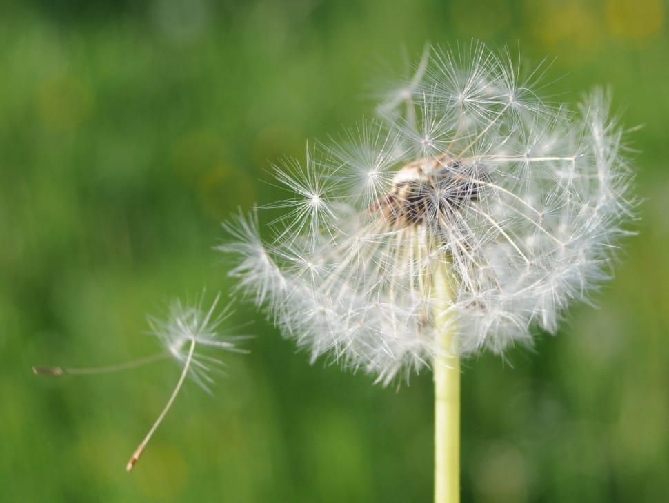 A close up shot of dandelion fluff.