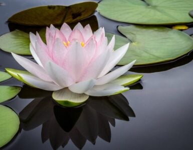 Floating lotus on water