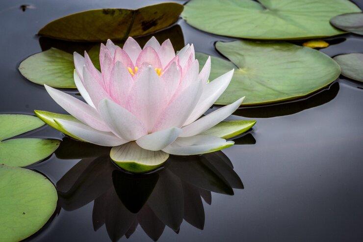Floating lotus on water
