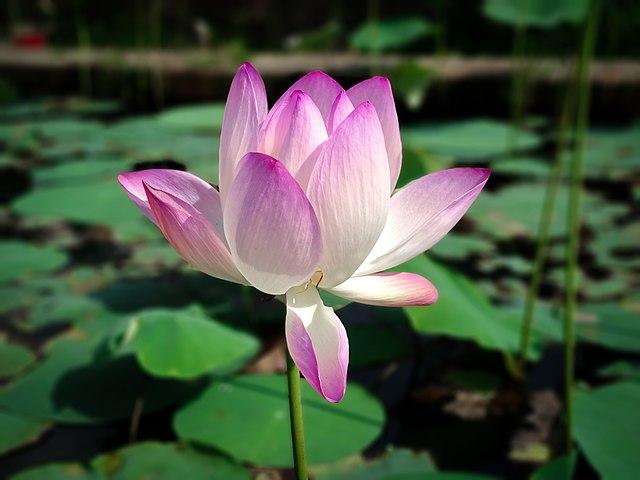 Lotus.