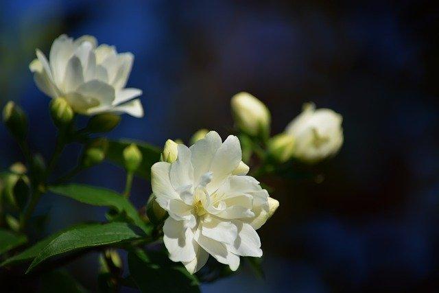 White jasmine flowers.