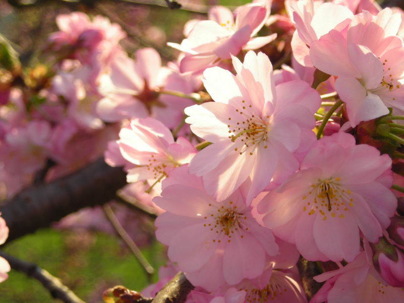 Japanese Cherry blossom flowers.