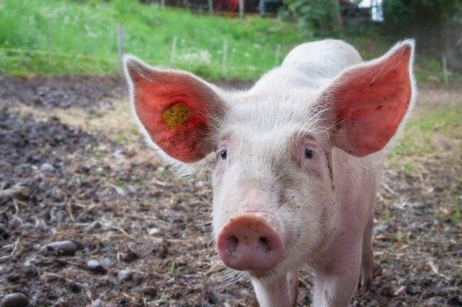 Pig in yard.